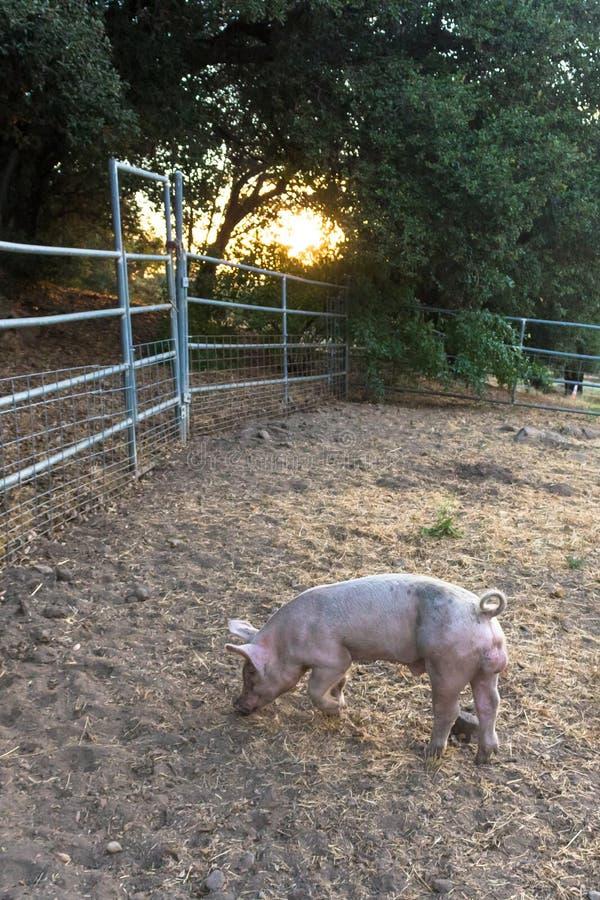 Kies jong roze vuil binnenlands varken met leuke krullende staart, één hoef gefokt volledig zichtbaar uit huisdierenvarken, zonso royalty-vrije stock foto
