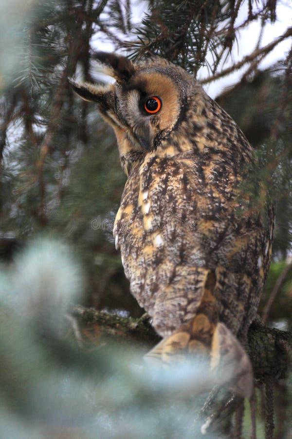 Kies lang-Eared Uilvogel op een boomtak in een bos tijdens a uit stock fotografie