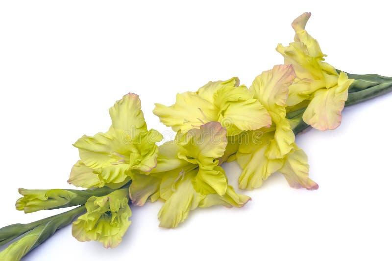 Kies mooie gele die gladiolenbloem uit op witte backg wordt geïsoleerd stock fotografie