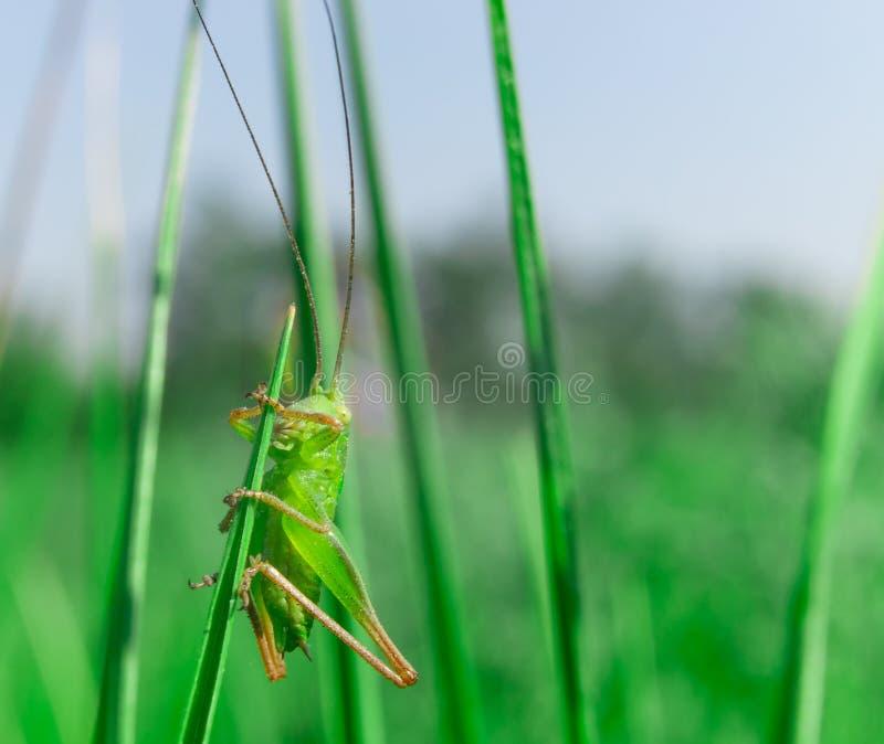 Kies weinig groene grasshooper op het gras uit stock fotografie