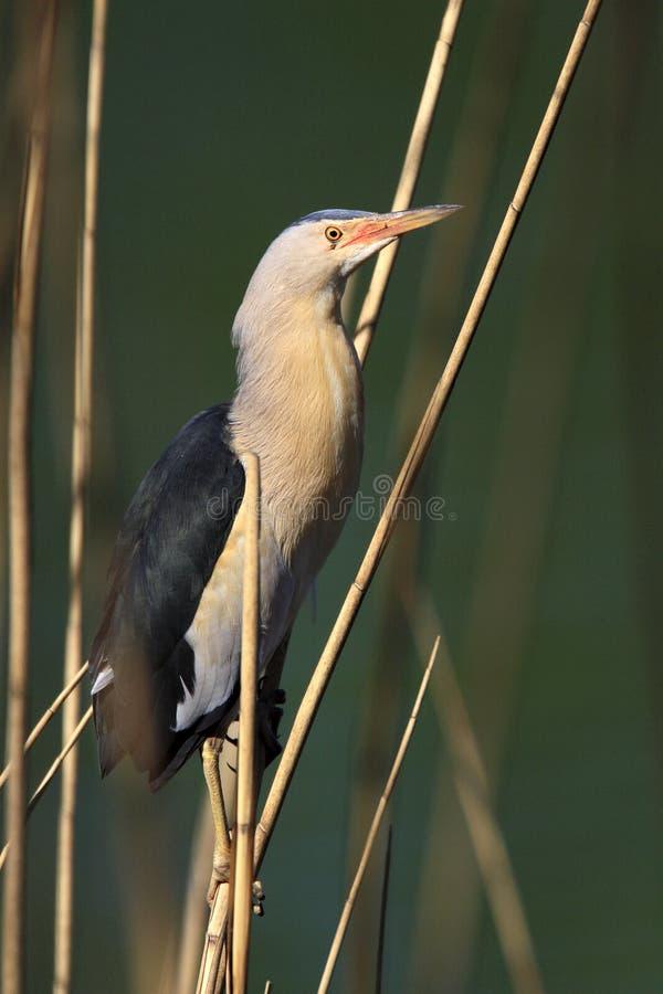 Kies Weinig Moederloogvogel op een rietstam in uit lentetijd royalty-vrije stock foto's