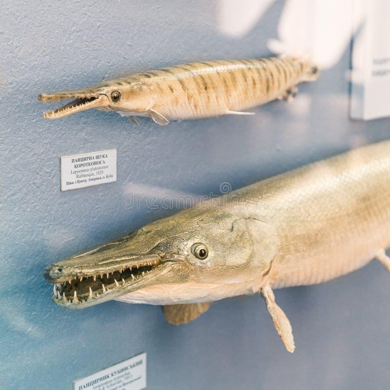 KIEV, UCRAINA - 16 GIUGNO 2018: Museo nazionale delle scienze naturali dell'Ucraina platostomus del lepisosteus immagini stock