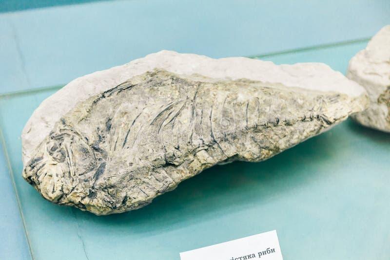 KIEV, UCRANIA - 16 DE JUNIO DE 2018: Museo Nacional de ciencias naturales de Ucrania Animal de mar antiguo fósil Pescados en pied fotografía de archivo