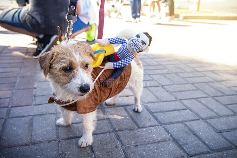 KIEV, UKRAINE - May 16, 2018: Jack Russell dog in cowboy costume with rider on back. KIEV, UKRAINE - May 16, 2018: Jack Russell dog in cowboy costume stock photography