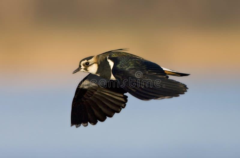 Kievit, galispo do norte, vanellus do Vanellus fotografia de stock royalty free