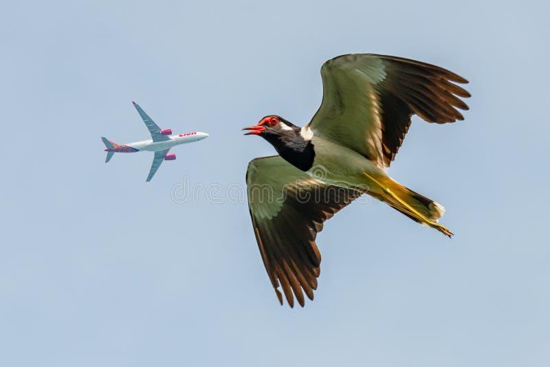 Kievit rood-Wattled tijdens de vlucht met commercieel vliegtuig dat hierboven als achtergrond vliegt stock afbeelding