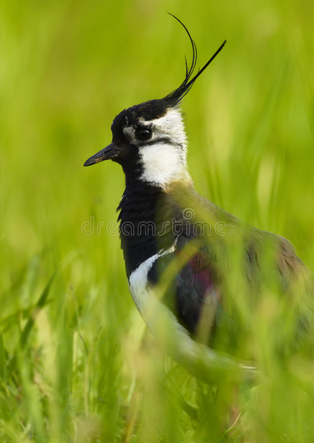 Kievit - (vanellus Vanellus) stock fotografie