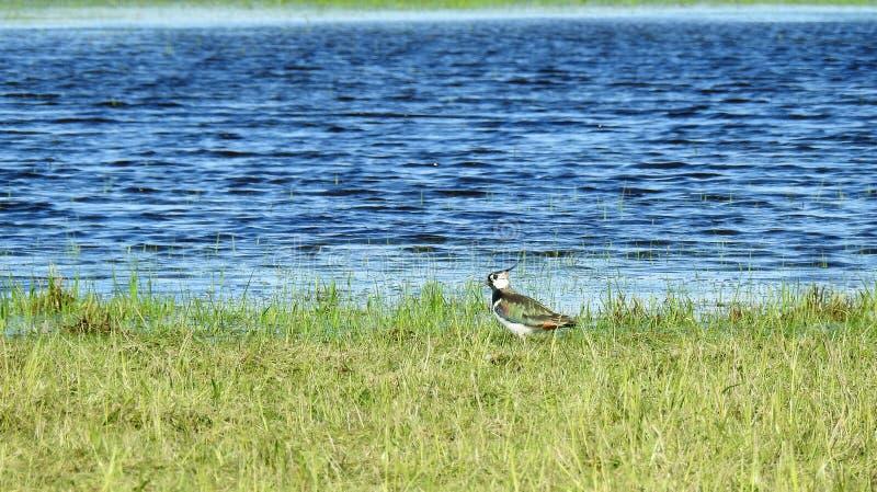 Kievitvogel op groen gras dichtbij water, Litouwen royalty-vrije stock fotografie