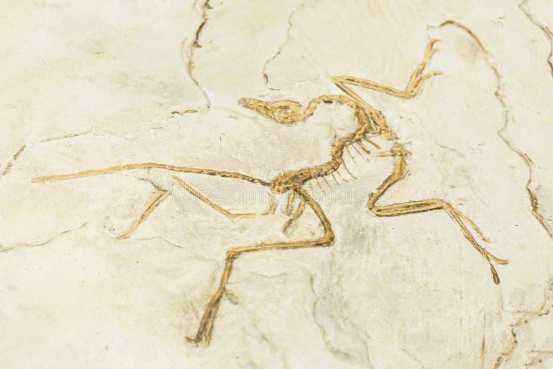 KIEW, UKRAINE - 16. JUNI 2018: Nationalmuseum von Naturwissenschaften von Ukraine Archaeopteryxversteinerte Juraknochen, prähisto lizenzfreies stockbild