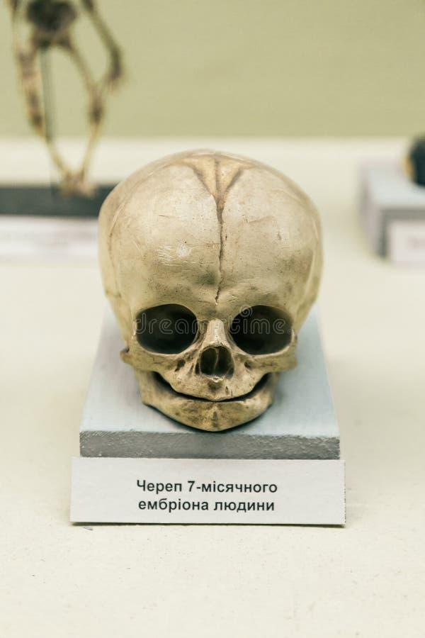 KIEW, UKRAINE - 16. JUNI 2018: Nationalmuseum von Naturwissenschaften von Ukraine Menschlicher Säuglingsschädel, Anatomieskelett lizenzfreies stockbild