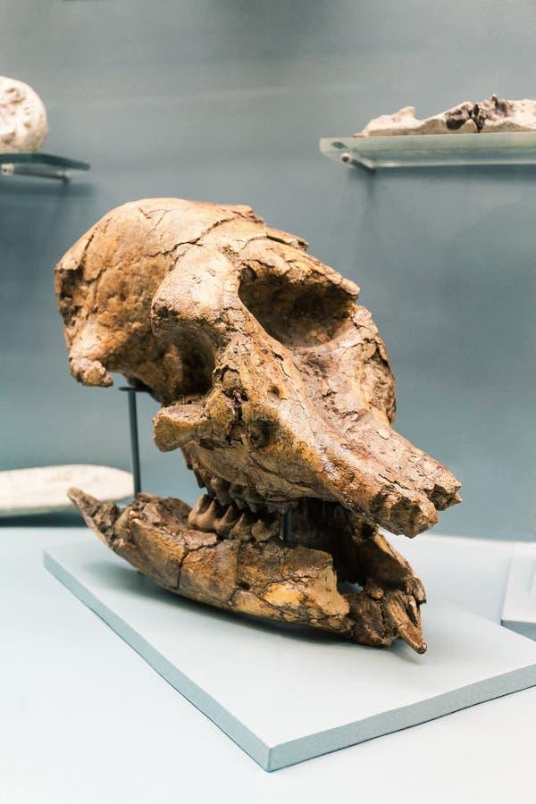 KIEW, UKRAINE - 16. JUNI 2018: Nationalmuseum von Naturwissenschaften von Ukraine Versteinerter Schädel, Dinosaurierskelett Riesi stockfoto