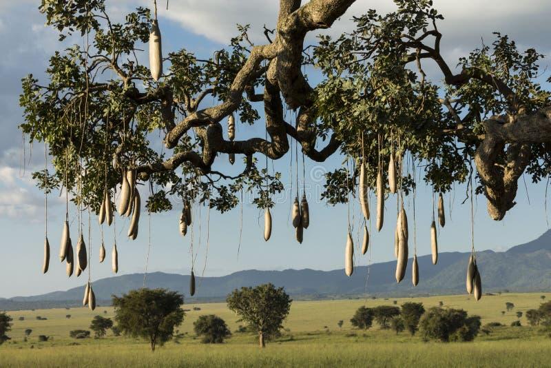 Kigelia africana in Kidepo Valley National Park. Uganda royalty free stock photos