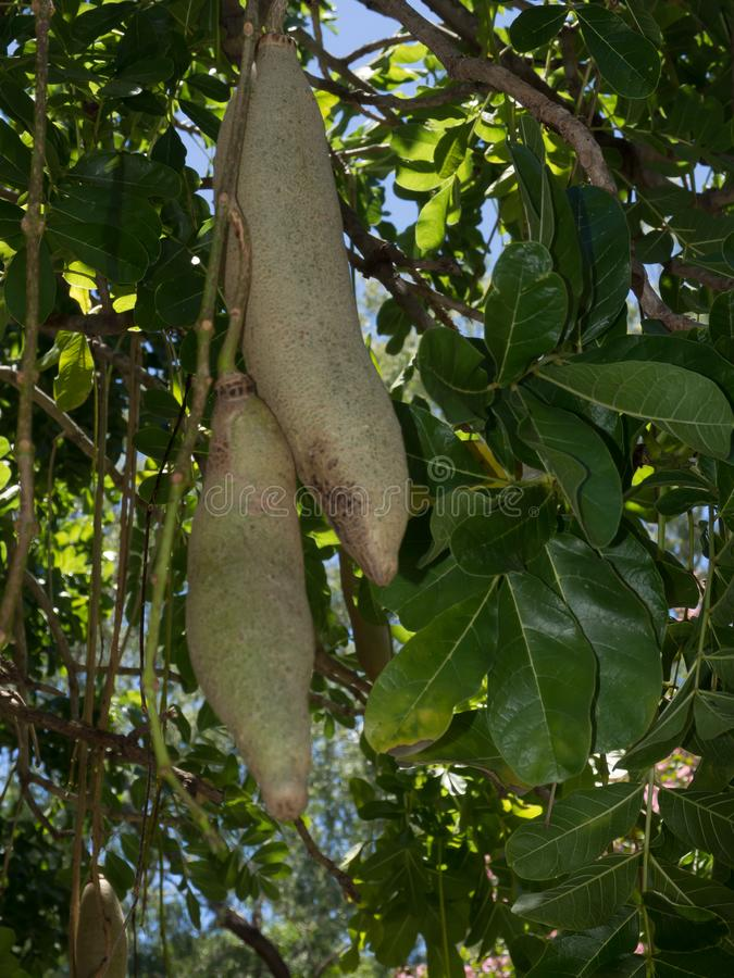 The Kigelia africana ` Sausage Tree ` or Bignoniaceae is only one species, which occurs throughout tropical Africa. Kigelia africana ` Sausage Tree ` or stock photo