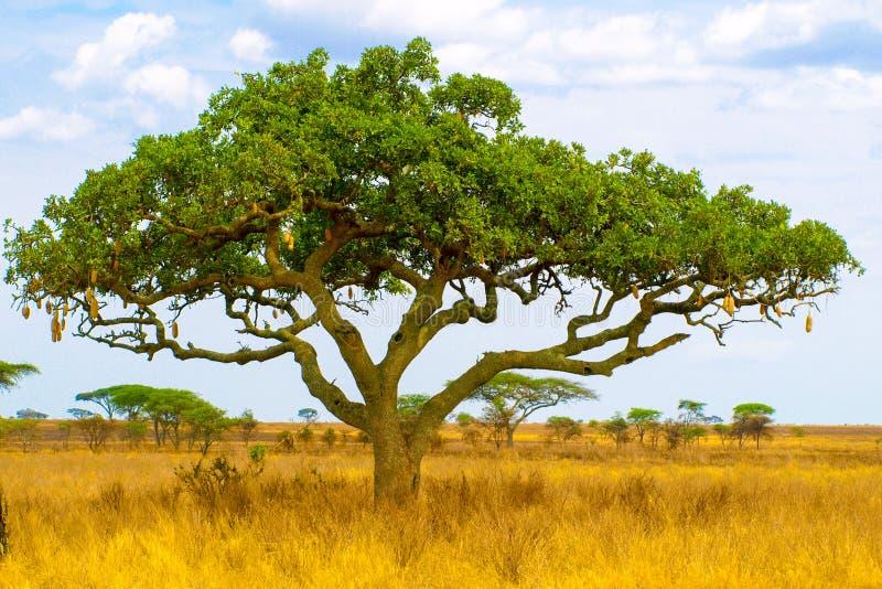 Kigelia, aka korvträd, i torrt savannlandskap, Serengeti nationalpark, Tanzania, Afrika royaltyfria foton