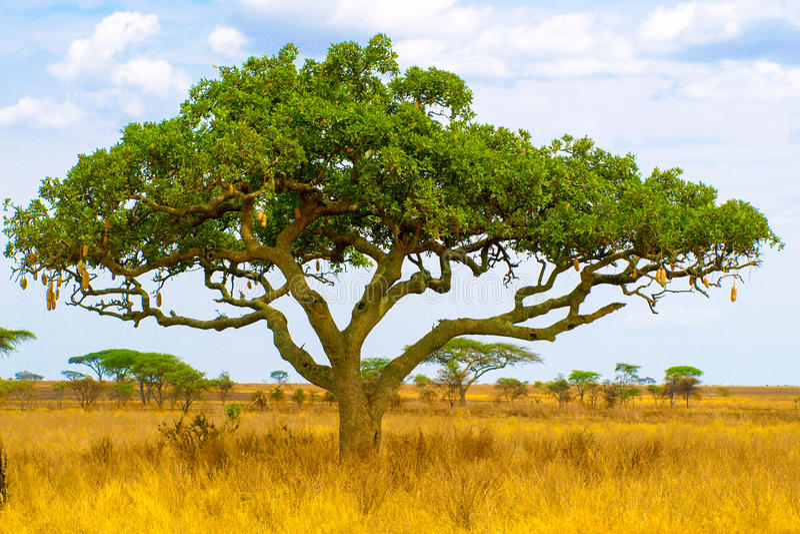 Kigelia, alias Wurstbaum, in der Trockensavannelandschaft, Nationalpark Serengeti, Tansania, Afrika lizenzfreie stockfotos