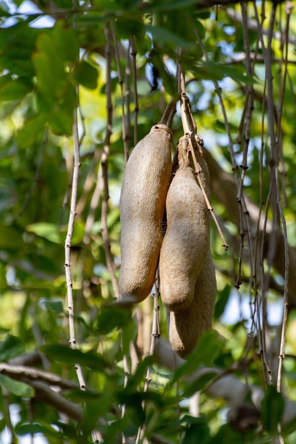 Kigelia pinnata或非洲香肠树用不可食的垂悬的果子 免版税图库摄影