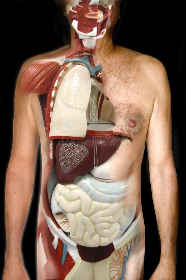 Kijk binnen menselijk lichaam royalty-vrije stock foto