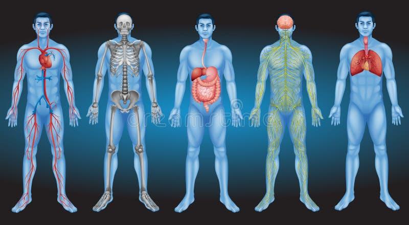 Kijk binnen menselijk lichaam vector illustratie