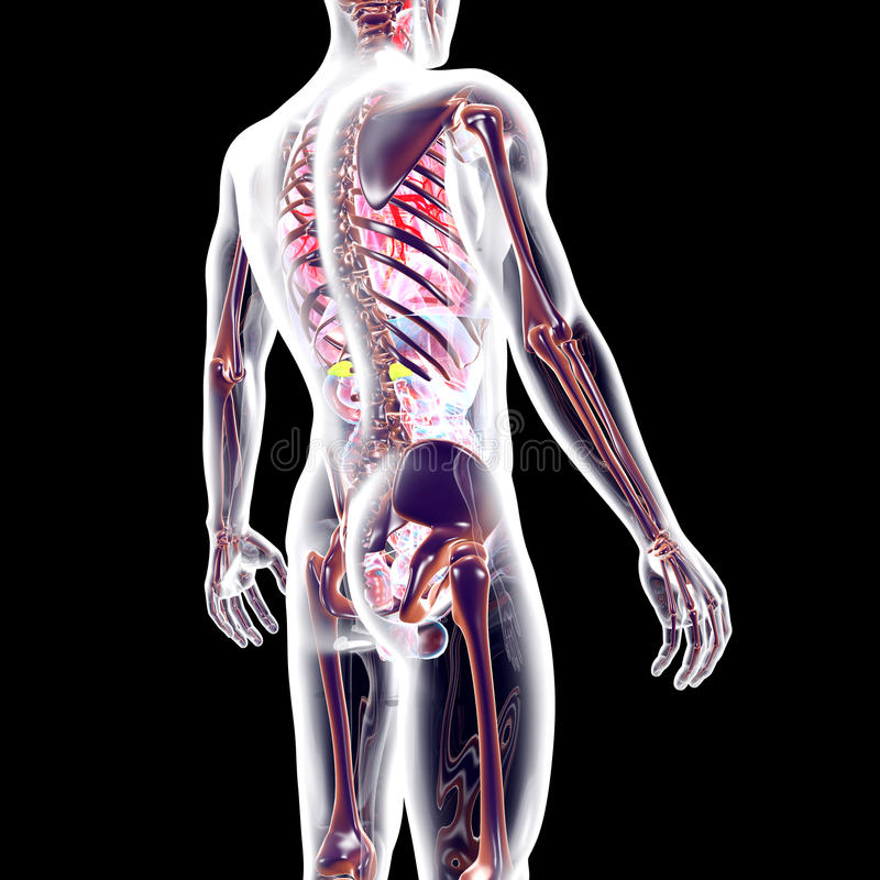 Kijk binnen menselijk lichaam royalty-vrije illustratie
