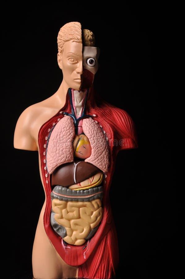 Kijk binnenlichaam, menselijke anatomie stock foto