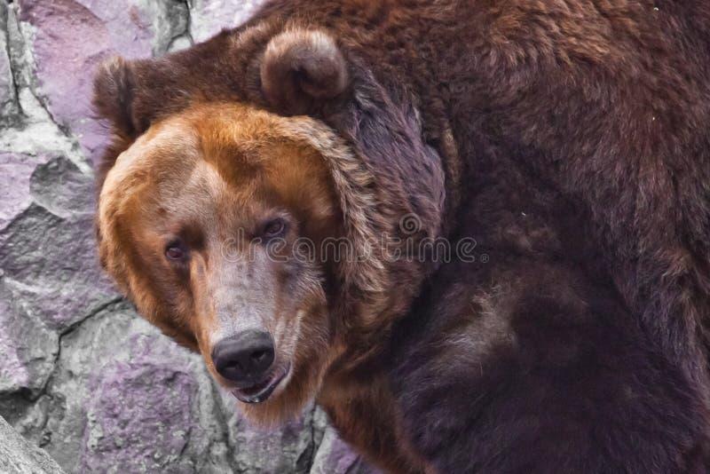 Kijk helft-gedraaid - een groot gezicht Reusachtige krachtige bruin draagt close-up, sterk dier op een steenachtergrond royalty-vrije stock foto's