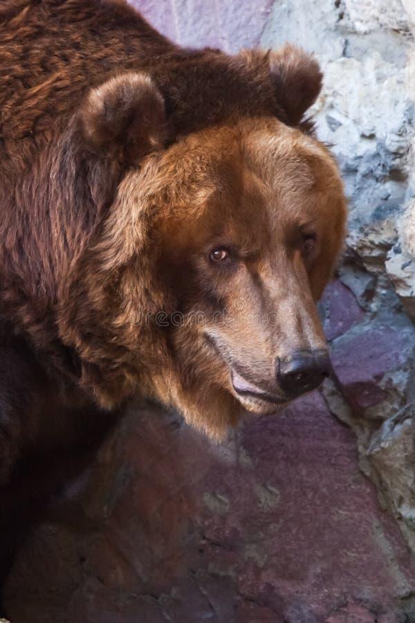 Kijk helft-gedraaid - een groot gezicht Reusachtige krachtige bruin draagt close-up, sterk dier op een steenachtergrond royalty-vrije stock foto