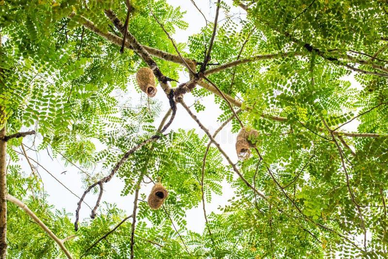 Kijkend mening Ricebird of het nest van de weversvogel op boom royalty-vrije stock afbeelding