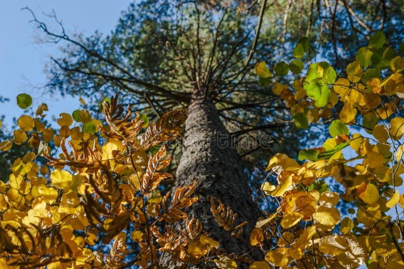 Kijkend omhoog de Boomstam van Pijnboomboom, de Heldere Kroon van Groene, Gele en Gouden Bladeren Autumn Colors, Verandering van  stock afbeeldingen