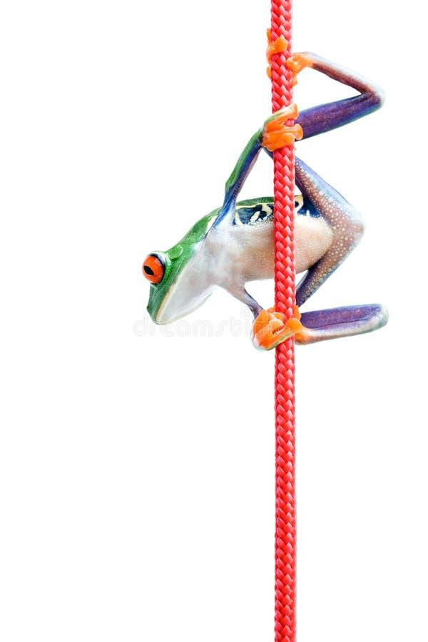Kikker die kabel beklimt die op wit wordt geïsoleerda royalty-vrije stock afbeelding