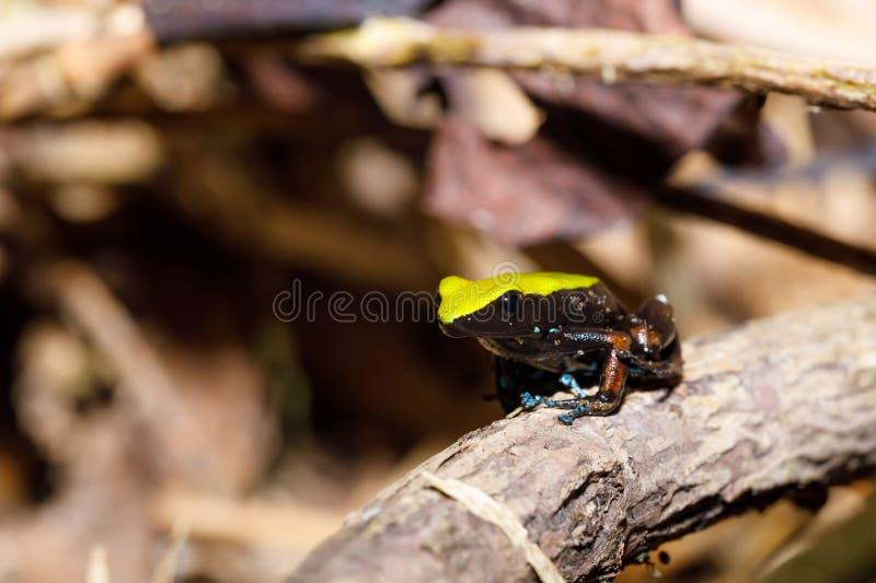 Kikker die Mantella, het wild van Madagascar beklimmen stock afbeelding