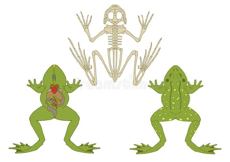 Kikker, dwarsdoorsnede en skelet stock illustratie