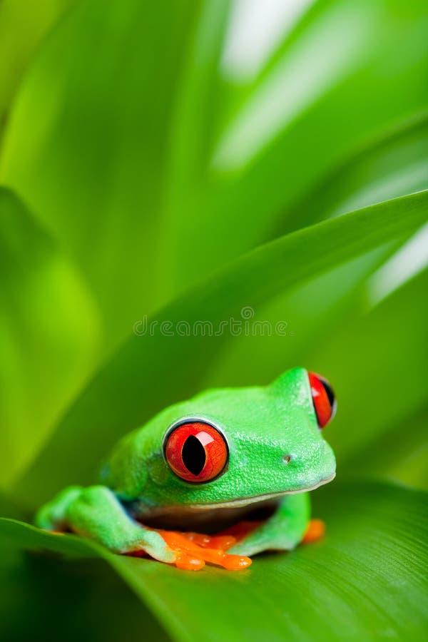 Kikker in een installatie - rood-eyed boomkikker stock foto's