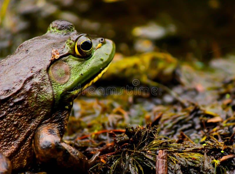 Kikker in een moeras stock foto