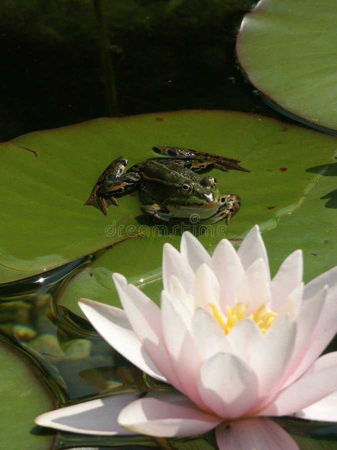 Kikker met water lilly royalty-vrije stock fotografie