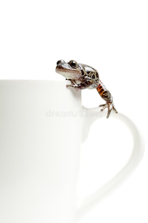 Kikker op koffiekop royalty-vrije stock fotografie