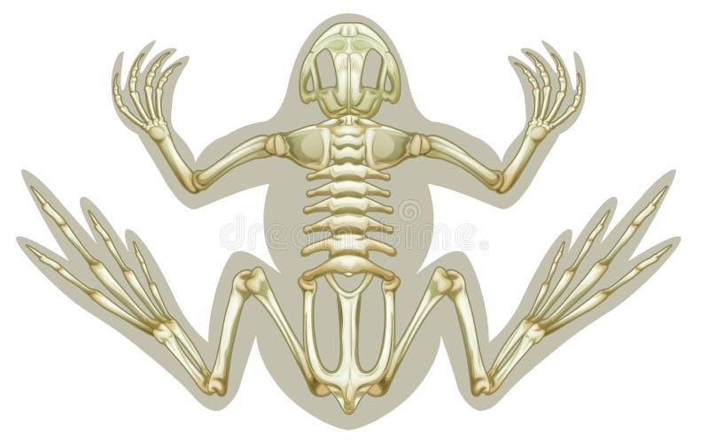 Kikker skeletachtig systeem vector illustratie