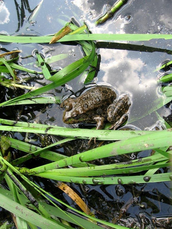 Kikker in water stock foto's