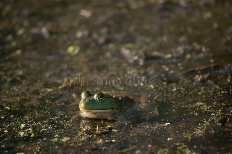 Kikker in water royalty-vrije stock afbeelding