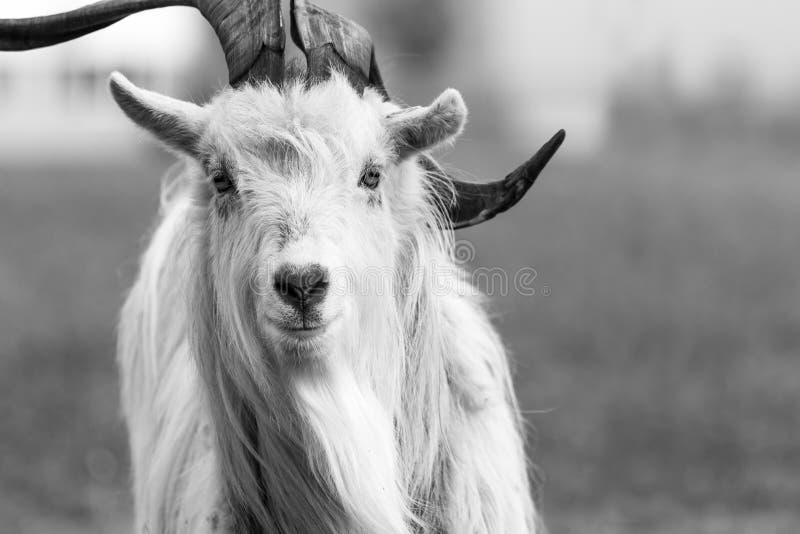 Kiko goat black and white portrait photo-image royalty free stock images