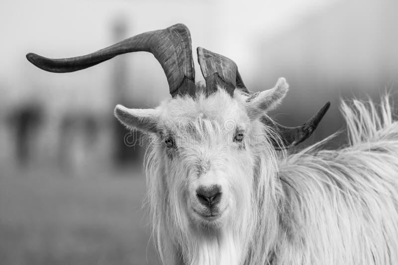 Kiko goat black and white portrait photo-image stock photos