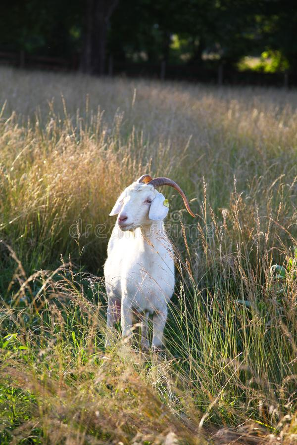 Female Kiko goat sanding in meadow. Kiko goats are a hearty breed of white goat that originated from New Zealand. The goats are raised as breeders and for meat royalty free stock image