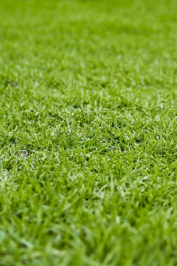 Kikuyu-Gras stockfoto