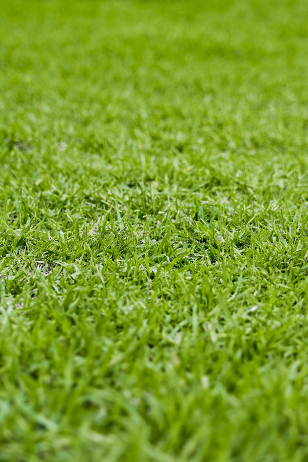 Kikuyu Grass stock photo