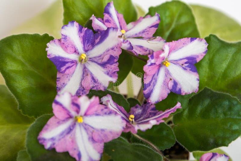 Kilauea Saintpaulia varieties J. Eyerdom with beautiful colored flowers. Close-up. royalty free stock photo