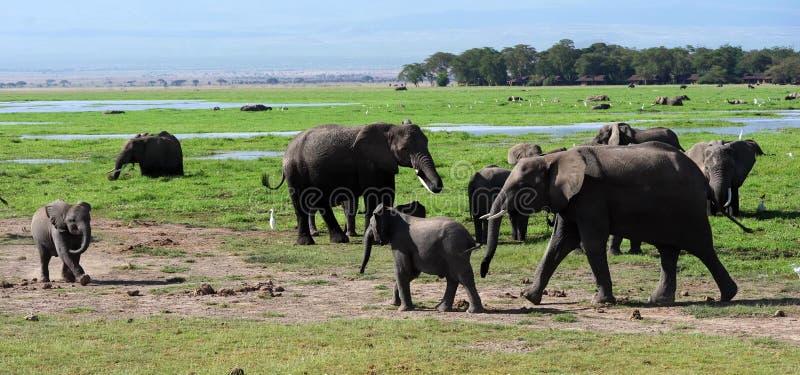Kilimanjaro-Elefanten in Nationalpark Kenia Amboseli lizenzfreie stockfotos