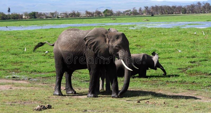 Kilimanjaro elefanter i den Amboseli nationalparken Kenya royaltyfria foton