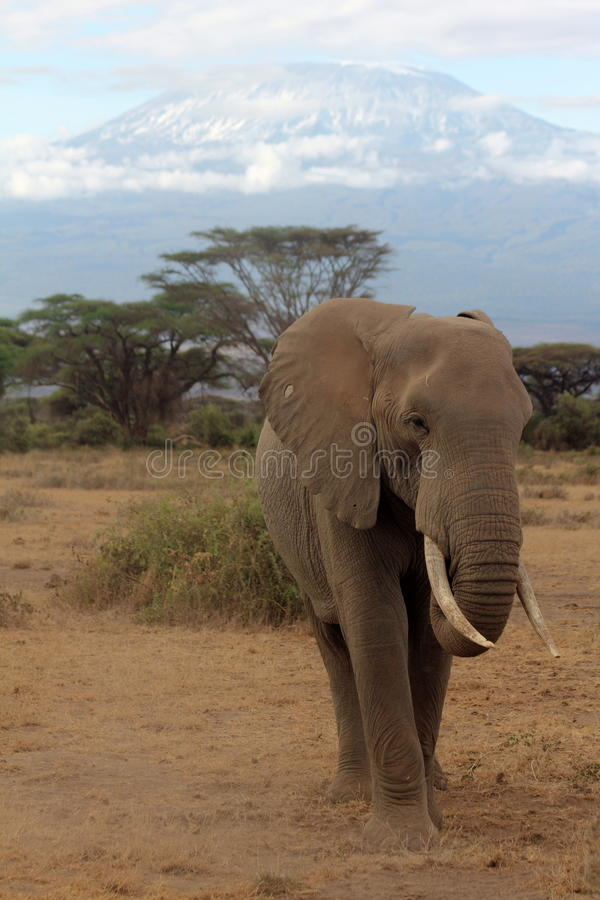 Kilimanjaro Elephant. Taken in Amboselli National park while Kilimanjaro is visible. Taken in September stock photos