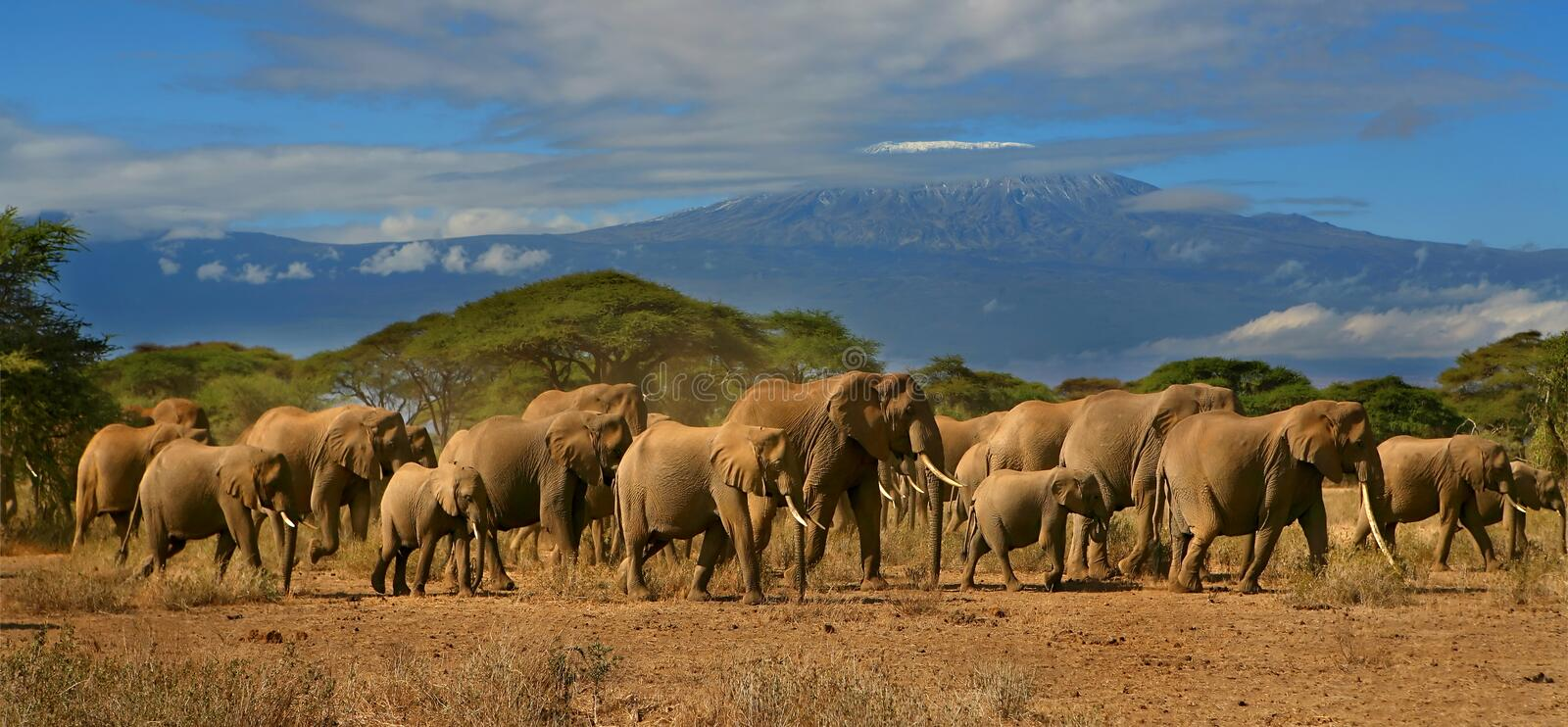 Kilimanjaro And Elephant Herd Africa Tanzania Kenya. Kilimanjaro mountain with a full herd of elephants in the foreground, with cloudy blue skies. Snowy mountain royalty free stock photography