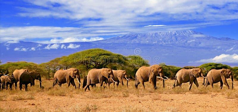Kilimanjaro Mountain And Elephants Kenya Africa stock photography