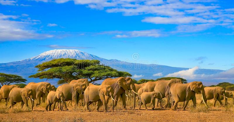 Kilimanjaro Tanzania African Elephants Safari Kenya. Herd of african elephants on a safari trip to Kenya and a snow capped Kilimanjaro mountain in Tanzania in stock images